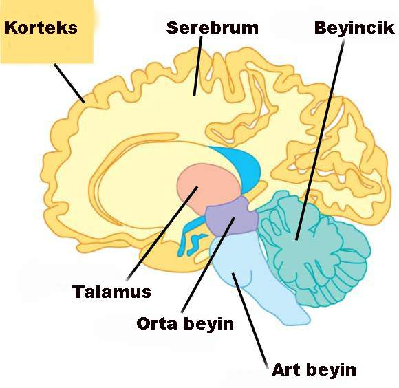 Beynimizin evrimsel süreçte büyümesinde rol oynayan bir gen bulundu